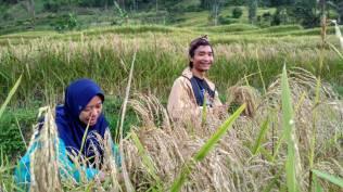 Saya dan Aji membantu memanen padi dengan ketam